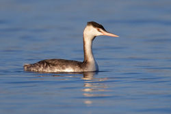 Great Crested Grebe photographed at Reservoir [RES] on 31/12/2010. Photo: © steve levrier