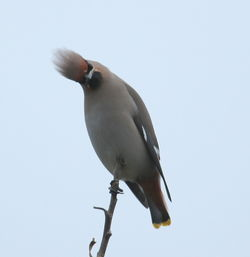 Waxwing photographed at hotel de beauvoir on 1/1/2011. Photo: © Paul Bretel