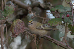 Goldcrest photographed at Track Marais [TRA] on 30/12/2010. Photo: © Paul Bretel