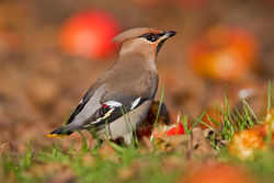 Waxwing photographed at Hotel de Beauvoir on 31/12/2010. Photo: © Chris Bale