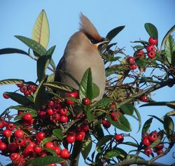 Waxwing photographed at Rue Du Presbytere on 9/1/2011. Photo: © Mark Guppy