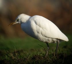 Cattle Egret photographed at Rue des Morts on 9/1/2011. Photo: © Mark Guppy
