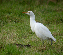 Cattle Egret photographed at Rue des Rocquettes, STA on 11/1/2011. Photo: © Mark Lawlor