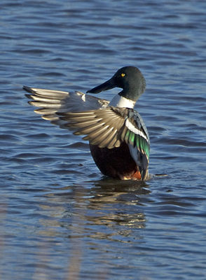 Shoveler photographed at Vale Pond [VAL] on 18/1/2011. Photo: © Mike Cunningham