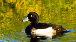 Tufted Duck photographed at Grande Mare [GMA] on 18/1/2011. Photo: © Anthony Loaring