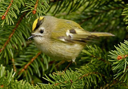 Goldcrest photographed at St Peter Port [SPP] on 22/1/2011. Photo: © Mike Cunningham