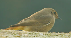 Black Redstart photographed at St Peter Port [SPP] on 26/1/2011. Photo: © Anthony Loaring