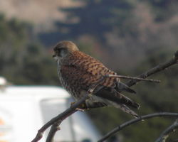 Kestrel photographed at L\'Ancresse on 18/1/2011. Photo: © Cindy Carre