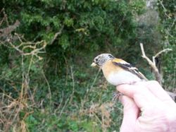 Brambling photographed at Jerbourg [JER] on 31/1/2011. Photo: © Christopher Mourant