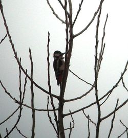 Great Spotted Woodpecker photographed at Foulon [FOU] on 6/2/2011. Photo: © Mark Guppy