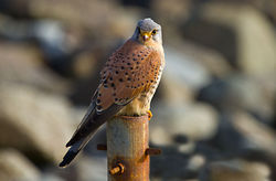 Kestrel photographed at Chouet [CHO] on 19/2/2011. Photo: © Anthony Loaring