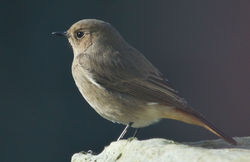 Black Redstart photographed at St Peter Port [SPP] on 19/2/2011. Photo: © Anthony Loaring