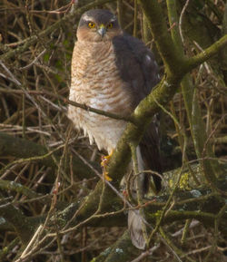 Sparrowhawk photographed at Rue des Bergers [BER] on 19/2/2011. Photo: © Anthony Loaring