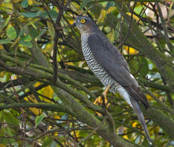 Sparrowhawk photographed at Claire Mare [CLA] on 25/9/2010. Photo: © Anthony Loaring
