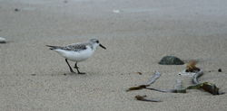 Sanderling photographed at Ladies Bay on 22/2/2011. Photo: © Paul Bretel