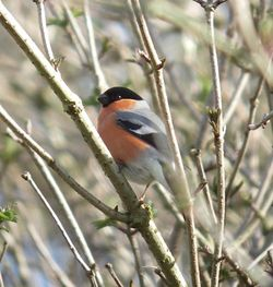 Bullfinch photographed at Talbot Valley [TAL] on 27/2/2011. Photo: © Mark Guppy
