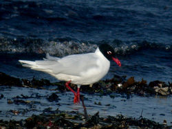 Mediterranean Gull photographed at Grandes Havres [GHA] on 4/3/2011. Photo: © Mark Lawlor