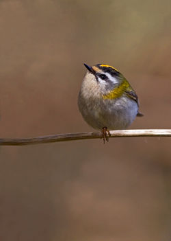 Firecrest photographed at Silbe [SIL] on 9/3/2011. Photo: © Chris Bale