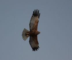 Marsh Harrier photographed at Colin Best NR [CNR] on 11/3/2011. Photo: © Paul Bretel