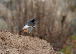 Black Redstart photographed at Fort Doyle [DOY] on 12/3/2011. Photo: © Rod Ferbrache
