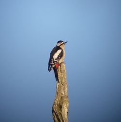 Great Spotted Woodpecker photographed at Talbot Valley [TAL] on 13/3/2011. Photo: © Mark Guppy