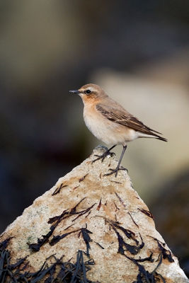 Wheatear photographed at Grandes Havres [GHA] on 13/3/2011. Photo: © Chris Bale