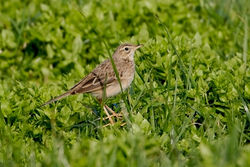 Richard's Pipit photographed at L'Eree on 14/3/2011. Photo: © Chris Bale
