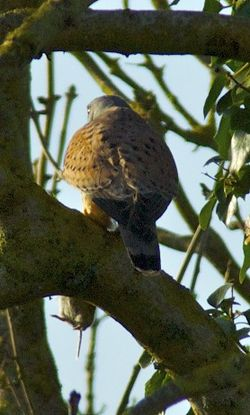Kestrel photographed at Rue des Bergers [BER] on 13/3/2011. Photo: © Royston Carr�