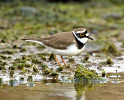 Little Ringed Plover photographed at Claire Mare [CLA] on 15/3/2011. Photo: © Mike Cunningham