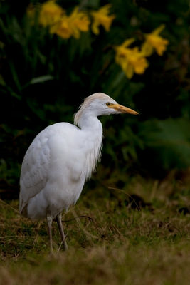 Cattle Egret photographed at Ruette Jullienne on 15/3/2011. Photo: © Chris Bale