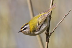Firecrest photographed at Silbe [SIL] on 19/3/2011. Photo: © Chris Bale