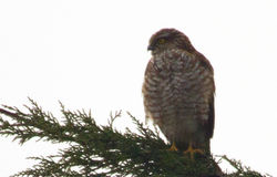 Sparrowhawk photographed at St Peter Port [SPP] on 18/3/2011. Photo: © Anthony Loaring