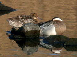 Garganey photographed at Vale Pond [VAL] on 22/3/2011. Photo: © Mark Lawlor