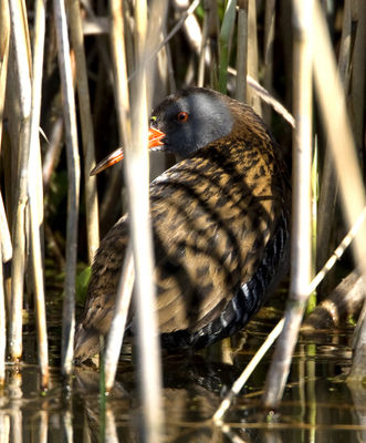 Water Rail photographed at Grands Marais/Pre [PRE] on 21/3/2011. Photo: © Mike Cunningham