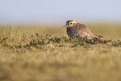 Golden Plover photographed at Pleinmont [PLE] on 22/3/2011. Photo: © Chris Bale
