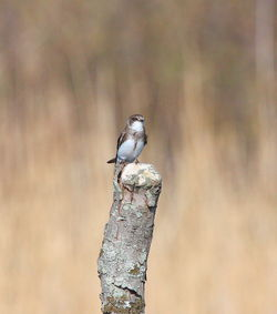 Sand Martin photographed at Grands Marais/Pre [PRE] on 21/3/2011. Photo: © Adrian Gidney