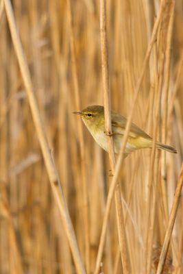 Chiffchaff photographed at Grand Pr� on 25/3/2011. Photo: © Rod Ferbrache