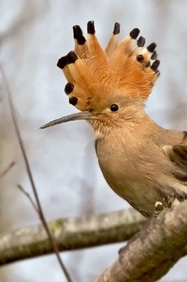 Hoopoe photographed at Les Adams [LDM] on 26/3/2011. Photo: © Chris Bale