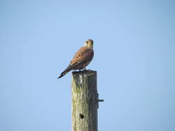 Kestrel photographed at Chouet [CHO] on 27/3/2011. Photo: © Cindy  Carre