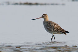 Bar-tailed Godwit photographed at Bordeaux [BOR] on 28/3/2011. Photo: © Rod Ferbrache