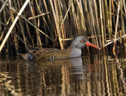 Water Rail photographed at Claire Mare [CLA] on 28/3/2011. Photo: © Mike Cunningham