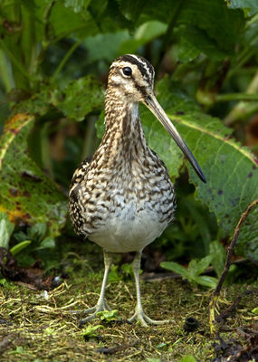 Snipe photographed at Rue des Bergers [BER] on 28/3/2011. Photo: © Mike Cunningham