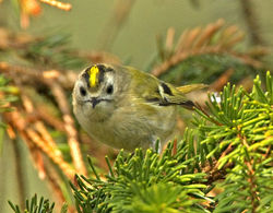 Goldcrest photographed at St Peter Port [SPP] on 28/3/2011. Photo: © Mike Cunningham