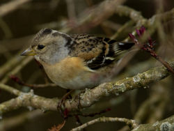 Brambling photographed at St Peter Port [SPP] on 29/3/2011. Photo: © Mike Cunningham