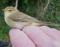 Willow Warbler photographed at Jerbourg [JER] on 3/4/2011. Photo: © Christopher Mourant