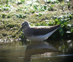 Green Sandpiper photographed at Rue des Bergers [BER] on 6/4/2011. Photo: © Mark Guppy