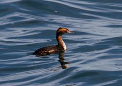 Slavonian Grebe photographed at La Capelle Island [CA7] on 6/4/2011. Photo: © Vic Froome