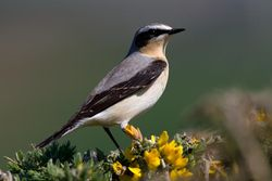 Wheatear photographed at Pleinmont [PLE] on 6/4/2011. Photo: © Vic Froome