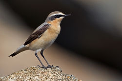 Wheatear photographed at Fort Le Marchant [MAR] on 6/4/2011. Photo: © Chris Bale
