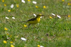 Yellow Wagtail photographed at Colin Best NR [CNR] on 8/4/2011. Photo: © Vic Froome
